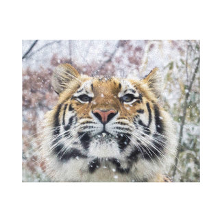 Regal Tiger in Snow Stretched Canvas Prints