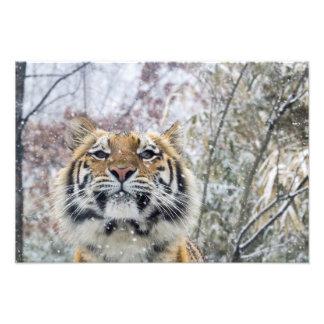 Regal Tiger in Snow Art Photo