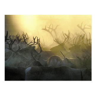 Reindeer Herd Postcard