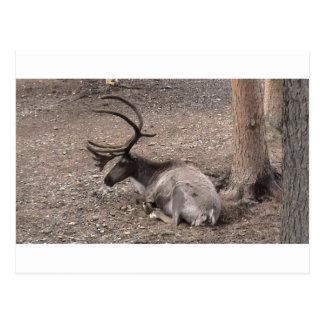 Reindeer on summer break postcard