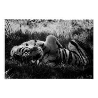 'Relax' - Amur Tiger (Black and White) Poster