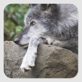 Relaxing Black Wolf Square Sticker