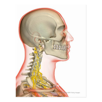 Rendering of the nerves of the neck postcard