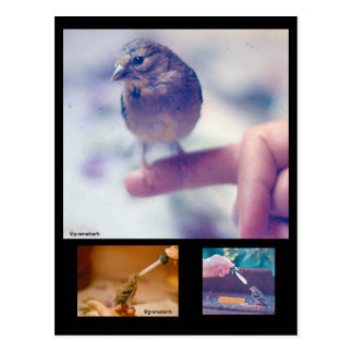 Rescued Goldfinch Story Postcard