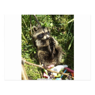 Rescued & Rehabilitated Raccoon Baby Postcard