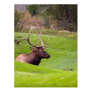 Resting Elk Postcard