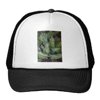 Resurrection Fern - Polypodium polypodioides Hat