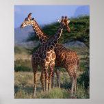 Reticulated Giraffe 2 Poster