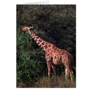Reticulated Giraffe - Browsing Greeting Card