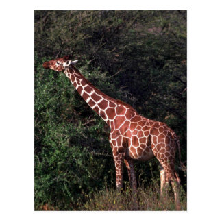 Reticulated Giraffe - Browsing Postcard
