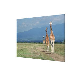 Reticulated Giraffe (Giraffa camelopardalis) 3 Canvas Print
