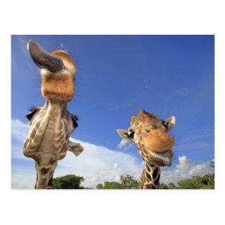 Reticulated Giraffe (Giraffa camelopardalis) 3 Postcard
