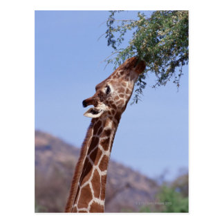 Reticulated Giraffe Postcard