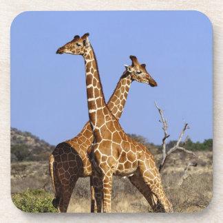 Reticulated Giraffes, Giraffe camelopardalis 3 Drink Coasters