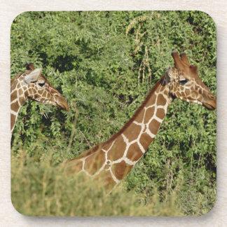 Reticulated Giraffes, Giraffe camelopardalis Drink Coaster