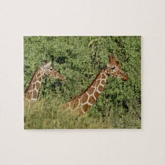 Reticulated Giraffes, Giraffe camelopardalis Jigsaw Puzzle