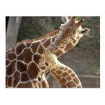 reticulated giraffes postcard