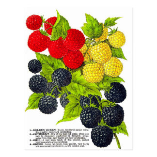 Retro Vintage Fruit Berries Blackberries Varieties Postcard