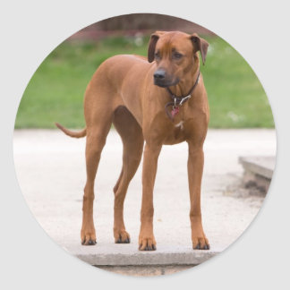 Rhodesian Ridgeback dog beautiful photo, gift Round Sticker