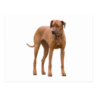 Rhodesian Ridgeback dog beautiful photo Postcard