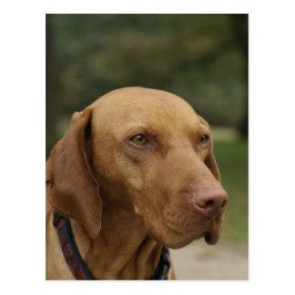 Rhodesian Ridgeback Dog Postcard