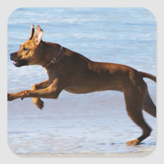 Rhodesian Ridgeback - Leap Square Sticker