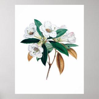 Rhododendron botanical print