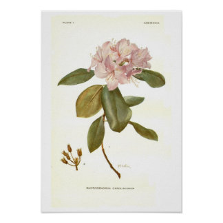 Rhododendron carolinianum poster