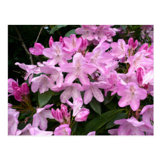 Rhododendrons II Postcard