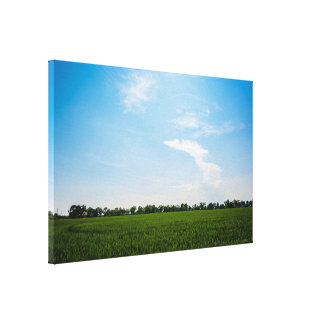Rice field in summer on a sunny day canvas print