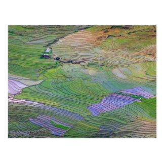 Rice paddies in Sapa Postcard