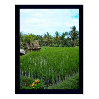 Rice Paddy, Ubud Bali, Indonesia Postcard