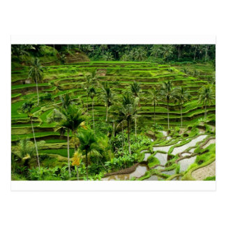 Rice terrace in Bali Postcards