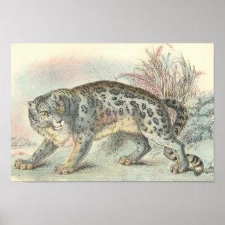 Richard Lydekker - Snow Leopard Portfolio Poster