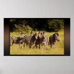 Right at You - zebras safari wildlife Poster