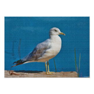 Ring-billed Gull Print or Poster.