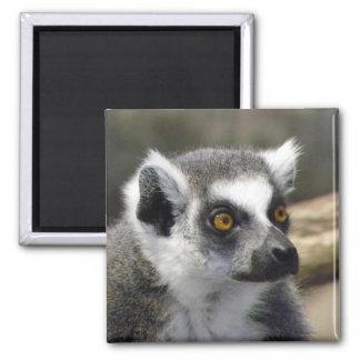 Ring-Tailed Lemur Close Up Portrait Square Magnet