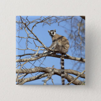 Ring-tailed Lemur (Lemur catta) warming in tree 15 Cm Square Badge
