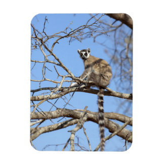 Ring-tailed Lemur (Lemur catta) warming in tree Rectangular Photo Magnet