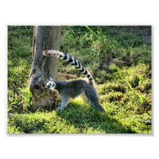 Ring Tailed Lemur Photograph