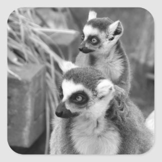 Ring-tailed lemur with baby black and white square sticker