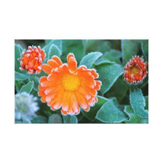 Ringelblumen with hoarfrost, flower in the garden stretched canvas print