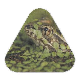 Rio Grande Leopard Frog, Rana berlandieri,