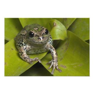 Riobamba Marsupial Frog Gastrotheca Photo Art