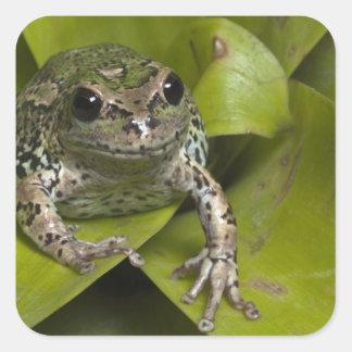 Riobamba Marsupial Frog Gastrotheca Square Sticker