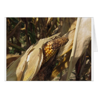 Ripe and ready to harvest ear of corn card