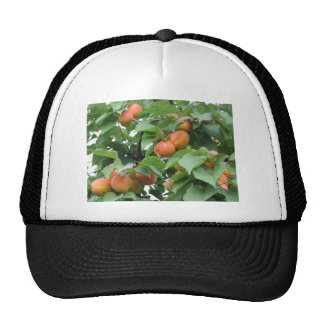 Ripe apricots hanging on the tree . Tuscany, Italy Cap