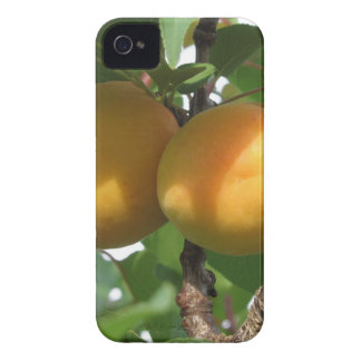 Ripe apricots hanging on the tree . Tuscany, Italy Case-Mate iPhone 4 Case