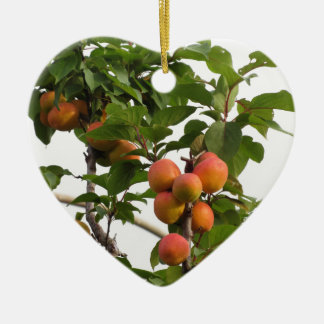 Ripe apricots hanging on the tree . Tuscany, Italy Ceramic Heart Decoration