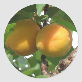Ripe apricots hanging on the tree . Tuscany, Italy Classic Round Sticker